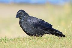 Zwarte kraai (diemerparkijburg) Tags: diemerpark zwarte kraai corneille carrion crow