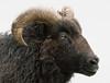 Sheep Portrait (Baldyal) Tags: black sheep venus pool shrewsbury animals