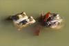 Chambres séparées (berthou.patrick) Tags: les grenouilles rousses