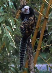 Stripy Tail (JKmedia) Tags: animal primate monkey tree bamboo marmoset small stripy tail climbing harbour callithrixgeoffroyi geoffroy'smarmoset newquayzoo
