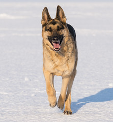 Harley_Lake Erie_4 (Thomas Muir) Tags: tommuir lakeerie oakharbor ohio germanshepherd dog outdoor lucascounty snow
