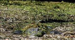 Big Poppa Gator - Camo (tshabazzphotography) Tags: nature wildlife alligator large camouflage silverriver ocalafl