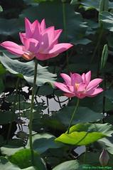 Hoa sen (Ct ng) Tags: summer flower lotus   sen hoa         hoasen bng mah bngsen senhng