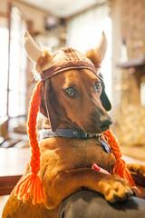 Roni B in Viking Hat (Steven Green Photography) Tags: dog pet window hat animal hotdog costume opera horns dachshund yarn cap braids paws collar roni viking doxie weeniedog ronib