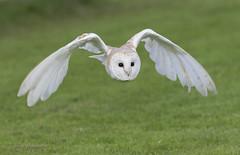 "barn owl ("" yer tis my ansome "") Tags: birds canon wildlife devon owl birdsinflight raptors owls barnowl grayclements"