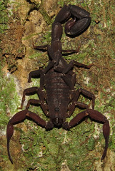 Tityus cf. strandi, thick-tailed scorpion (Birdernaturalist) Tags: brazil fluorescence matogrosso buthidae scorpiones privatetour cristalinojunglelodge richhoyer miscinvert