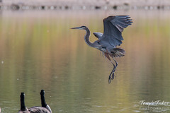 Great Blue Heron landing sequence - 5 of 7