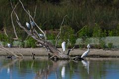 Egret Paradise (Palenquero) Tags: birds pentax 300mm da f4 sanjoaquin k3 14x