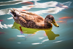 Female Duck (A Great Capture) Tags: park blue trees cloud lake canada reflection bird water clouds landscape duck seaside photographer montréal mtl quebec outdoor montreal great royal lac canadian beaver mount shore québec capture été mont aux parc qc yul pq grean castors agc ald canadiancity islandofmontreal a ash2276 ashleyduffus adjm mtlmoments wwwashleysphotoscom wwwagreatcapturecom agreatcapture
