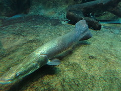 Arapaima swimming (fukapon) Tags: canon akita 秋田 arapaima oga powershots110 男鹿 arapaimagigas pirarucu 男鹿水族館
