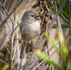 Yelling... Bushtit style (pekabo90401) Tags: canon birdwatching lightroom bushtit tinybird ittybitty madronamarsh sx50 itteh canonsx50 birdwatchinglosangeles pekabo90401 birdsofmadronamarsh tinyandfast