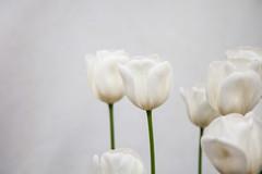 _MG_6987 (Joccoaa Australian Photographer) Tags: flower green spring stem warm australia negativespace tulip canberra whiteonwhite act floriade