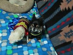 Wonderdog and Batdog (nodigio) Tags: batdog xoco wonderdog 2015 itzl itzlween