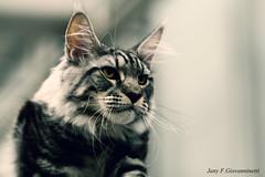 IMG_7553a_c (JANY FEDERICO GIOVANNINETTI) Tags: hairy cats cat hair eyes funny soft sweet expressions occhi international felini gatto gatti divertenti pelosi pelo dolci pedigree internazionale sguardi espressioni razza soffice soffici