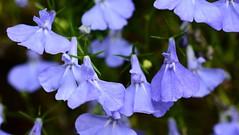 "Blue Lobelia ""Techno Blue"" (Joan's Pics 2012) Tags: blue flower explore bluelobelia macromonday"
