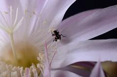 DSC_3490 (phoratium) Tags: cactus flor comiendo eatinng