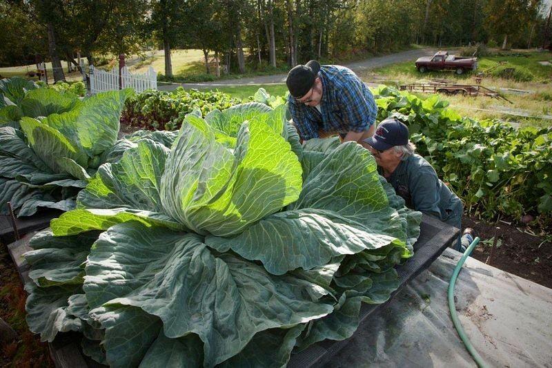 1445570820-alaska-giant-vegetables-7-2-