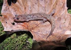 Desmognathus monticola (Seal Salamander) (Turtlerangler) Tags: kentucky salamander rockcastle desmognathus