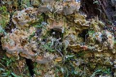 Lodutarjak; Rigidoporus crocatus; paksukuorikääpä (urmas ojango) Tags: seened fungi polyporales torikulaadsed meripilaceae rigidoporus tarjak paksukuorikääpä lodutarjak rigidoporuscrocatus
