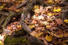 Wurzel im Herbst (ShimmyGraphy) Tags: autumn fall nature leaves forest germany de deutschland laub herbst natur bad alb root wald wurzel urach badenwürttemberg schwäbischealb schwäbische badurach shimmygraphy