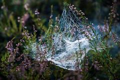 spiderweb (Hen_rik) Tags: spider spiderweb skog østfold edderkopp spydeberg dugg edderkoppnett