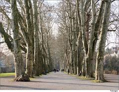 Tbingen, Platanenallee (to.wi) Tags: winter herbst neckar allee tbingen symmetrie neckarinsel platanenallee towi
