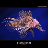 LIONFISH (Matthias Besant) Tags: ocean red sea fish animal coral tiere colorful meer wasser florida natur diving fisch reef lionfish bunt tier coralreef marinelife firefish riff fische pteroisvolitans giftig tauchen unterwasser zebrafish tierfoto korallen ozean farbenfroh tierreich koralle turkeyfish korallenriff tierfotografie unterwasserwelt naturfotografie lebewesen wildtiere naturfoto tierwelt rotfeuerfisch meerestier wildtier volitans unterwasseraufnahme unterwasserfotografie unterwasseraufnahmen skorpionfische unterwasserfotos skorpionfisch unterwasserfoto butterflycod giftstachel unterwasserwelten drachenkopfartige rotfeuerfische löwenfisch matthiasbesant ~themagicofcolours~iii