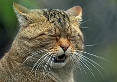 European wildcat Duisburg JN6A3789 (j.a.kok) Tags: duisburg wildekat felissilvestrissilvestris europesewildekat europeanwildcat