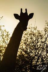 Giraffe- Kruger National Park (wsweet321) Tags: southafrica mammal giraffe krugernationalpark