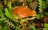 Pristimantis acuminatus (Ecuador Megadiverso) Tags: andreaskay ecuador amazon amphibian anura craugastoridae frog pristimantisacuminatus rainforest reservaecologicatamandua