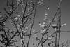 Wintersweet (odeleapple) Tags: nikon d810 af nikkor 50mm wintersweet monochrome bw sky