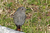 Black Redstart (Phoenicurus ochruros) (steveraduns_ebird) Tags: bird birds theforum forum foro romano rome roma italy female black redstart gray grey rock phoenicurusochruros