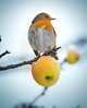 Red Stain [Explored 12/01/2017] (mr.martino) Tags: robin wildlife bird nature pettirosso winter snow
