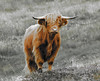 Young highland cow on Lewis. (David Russell 600K views thank you.) Tags: taurus bos young juvenile highland coo cow animal nature cattle horns isle island lewis harris outer hebrides scotland scot scenery uig outdoor scene