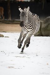 Runnning zebra (Cloudtail the Snow Leopard) Tags: zebra steppenzebra pferd tier säugetier mammal animal horse common burchell equus quagga burchellii run running rennen galoppieren schnee snow winter zoo stadtgarten karlsruhe burchellequus
