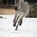 Runnning zebra