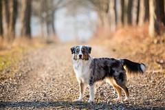 (Fotos aus OWL) Tags: bonnie hund dog aussie