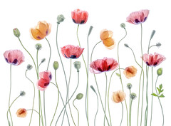 Papaver (Mandy Disher) Tags: poppy papaver summer flower orientalpoppy garden plant herbarium mandydisher landscapeformat