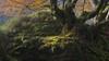 La bandeja de Oro (sgsierra) Tags: bosque haya alava cuento verde musgo luz amarillo fog light