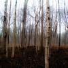 Forest In Fog 010 (noahbw) Tags: captaindanielwrightwoods d5000 nikon fog foggy forest landscape mist misty noahbw quiet spring square still stillness treetrunk trees woods