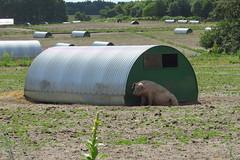 Mr. Happy Pig ! (Deida 1) Tags: pig happy suffolk uk pighouse country pigfarm