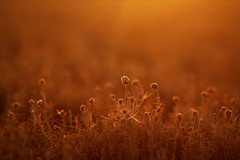 Golden Evening (Harshal Orawala) Tags: golden light surat nature evening winter 121clicks