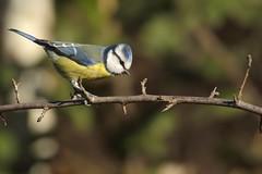 mesange bleue (frederic.laroche6) Tags: mesange bleue oiseau bird crau provence nikon d7100 nikkor 200 500 f56 14
