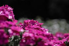 blume0023 (Hobbyfotografie Rebekka) Tags: outdoor foto fotografie photograpy pflanze pflanzen blumen blume nikon nikond3200 natur colorkey color flower flowers flowerphoto flowerpower lila nature