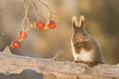 standing look (Geert Weggen) Tags: red nature animal squirrel rodent mammal cute look closeup stand funny bright sun backlight ice winter snow christmas holiday love tender valentine day feeling beauty admire plant brier geert weggen hardeko bispgården ragunda jämtland