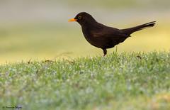 Melro (Turdus merula) (Fernando Delgado) Tags: aves algarve ludo parquenaturaldariaformosa melro turdusmerula 2017 blackbird birds birdwatching