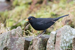 Blackbird - Male (AnnieMacD) Tags: applecross birds blackbird culduie scotland westerross wildbirds