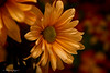 Comtemplation 0108 Copyrighted (Tjerger) Tags: nature beautiful beauty black bloom blooming closeup daisy flora floral flower green macro orange petals plant portrait red single winter wisconsin yellow comptemplation natural