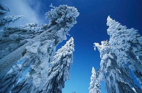White trees deep blue sky