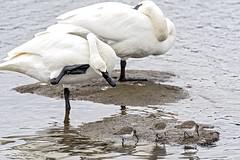 Are They Edible? (David Badke) Tags: colwood bc bird